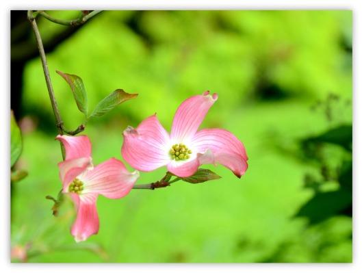 rosa Hartriegel