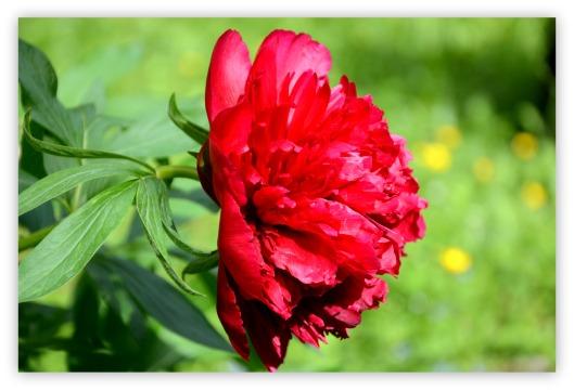 Rose für Pfingsten