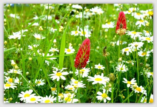 rote Wiesenblume