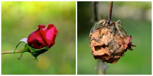 Rosen - Gegensätze