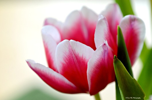 Tulpenblpte