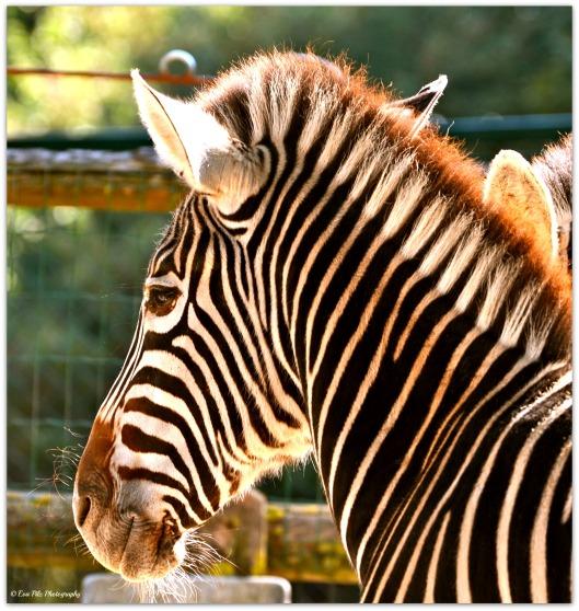Chapman-Zebra1