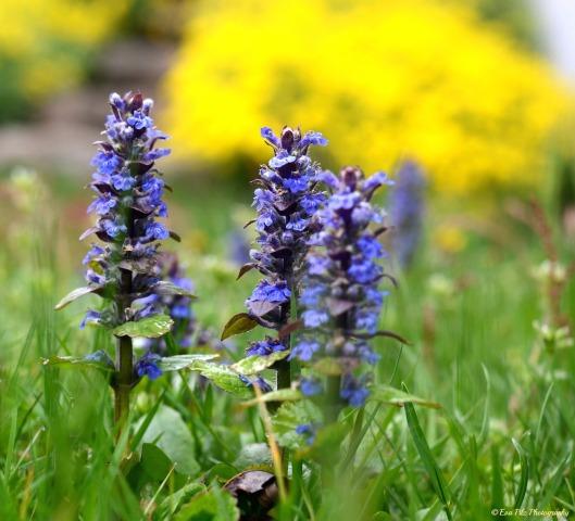 blaue Blume5