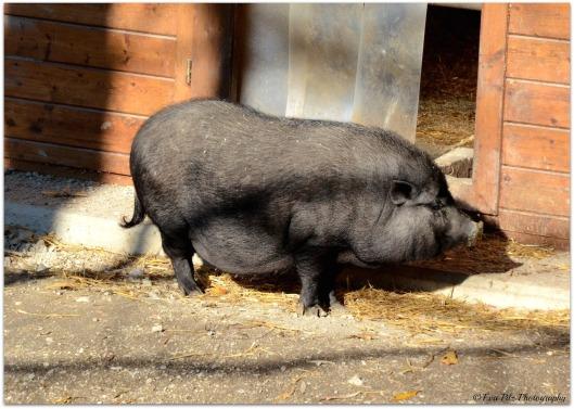 Hängebauchschwein2