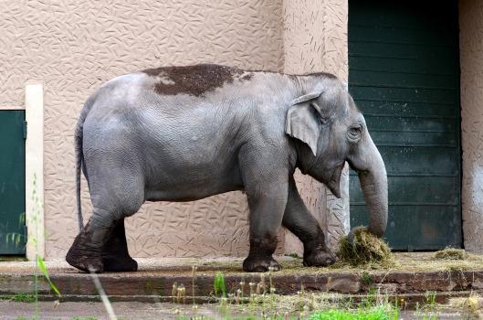 ind. Elefant