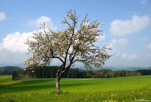 Apfelbaum3