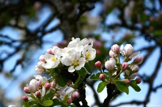 Apfelblüte weiß