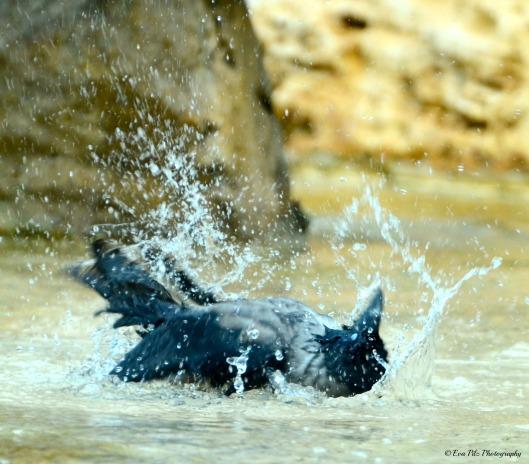 Nebelkrähe beim Bad