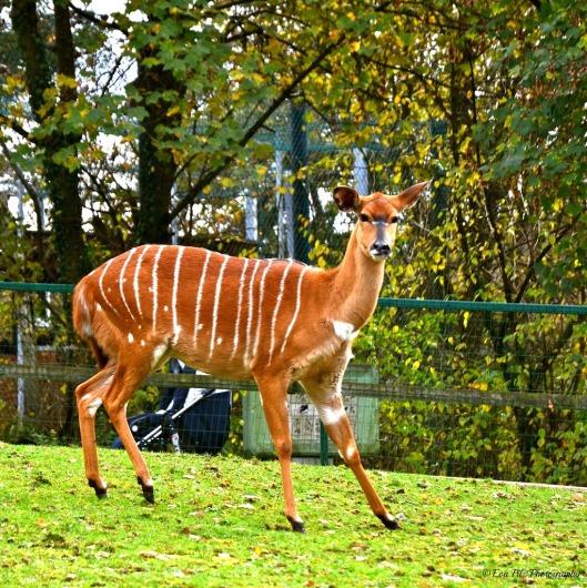 Nyala-Antilope4