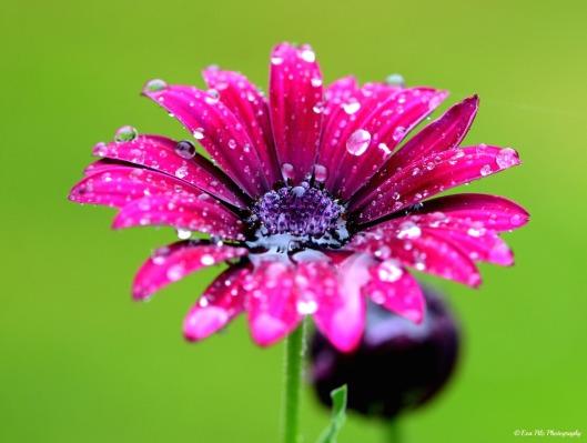 Regentropfen auf Blume
