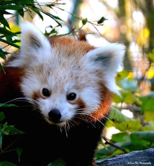 roter Panda 10