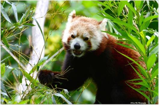 roter Panda6
