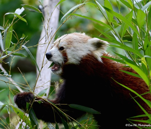 roter Panda7