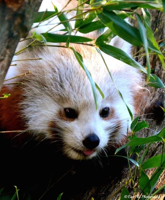 roter Panda9