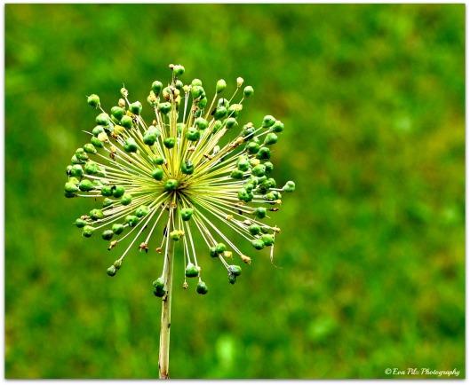 Allium22