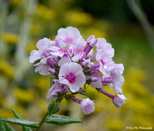 Blüte in rosa3