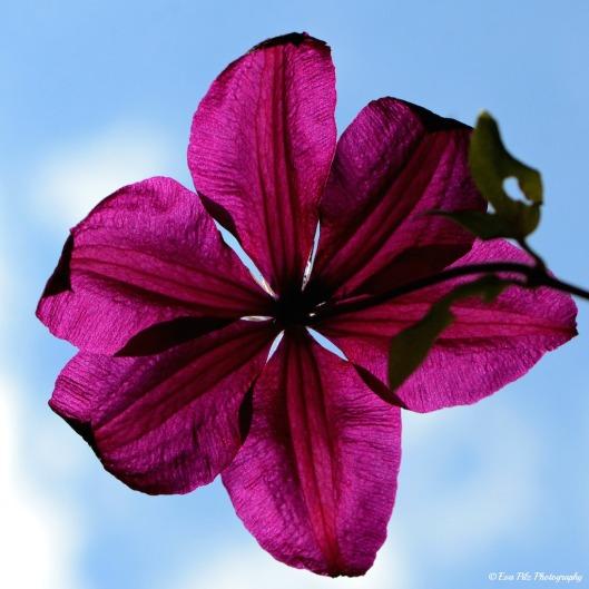 Clematis Blüte