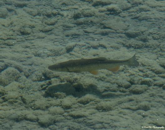 Fisch Attersee