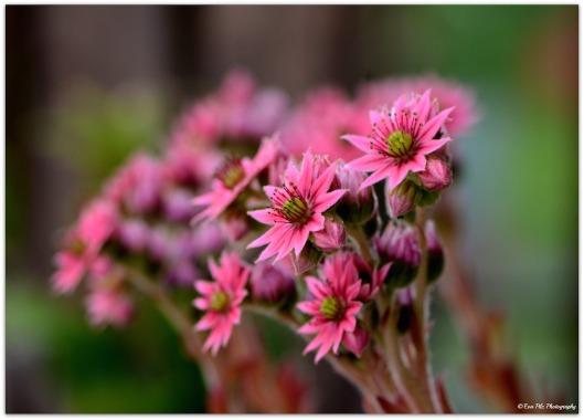 Hauswurz rosa Blüte