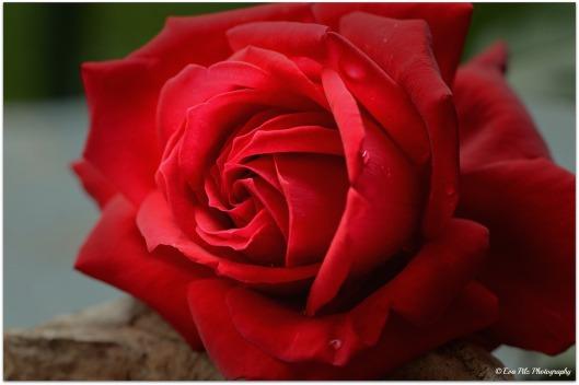 Rose ganz nah