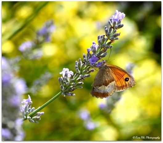 Schmetterling auf Lavendel11