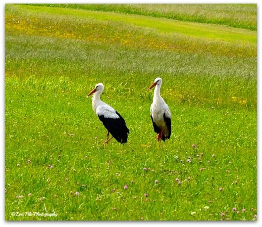 Storchenpaar
