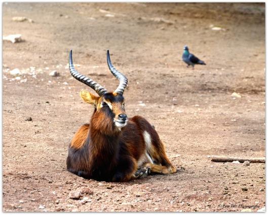 Weißnacken-Moorantilope