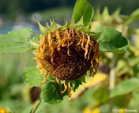 Sonnenblume 16