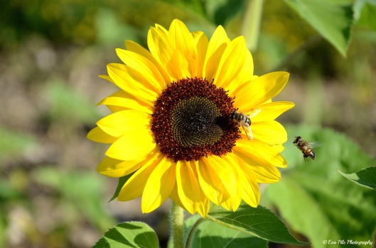 Sonnenblume10