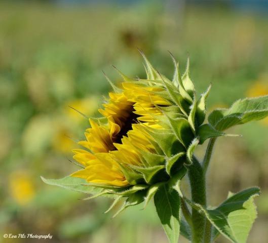 Sonnenblume13