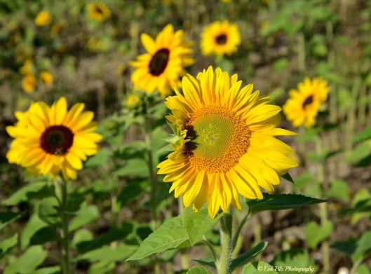 Sonnenblume15