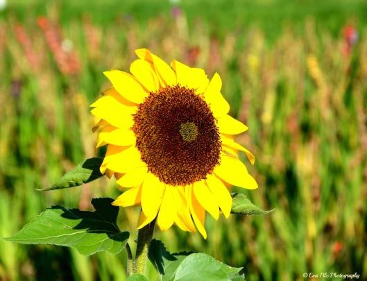 Sonnenblume17