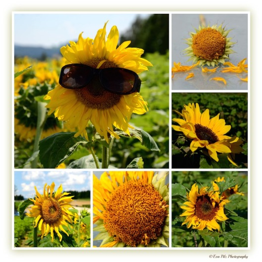 Sonnenblumen 22