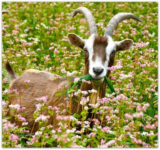 Ziege mit Gras