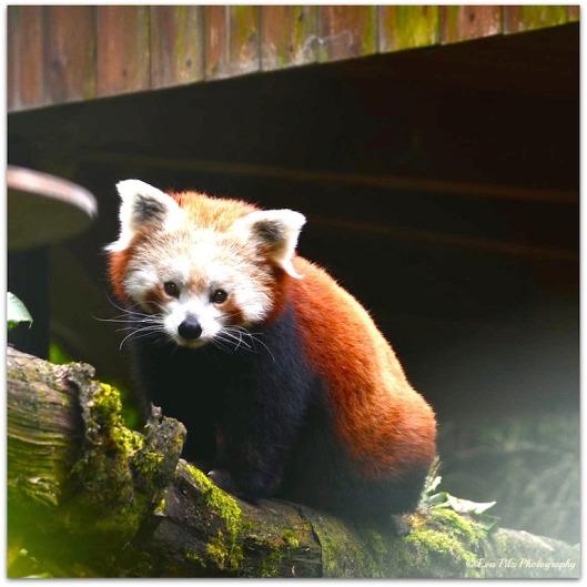 Roter Panda 9