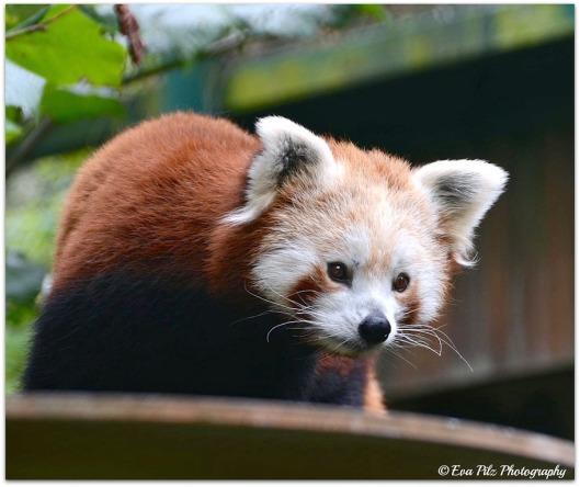 Roter Panda8