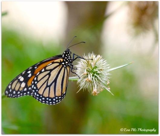 Schmetterling7