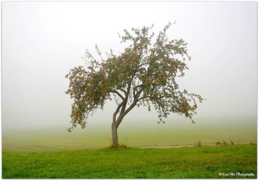 Apfelbaum im Nebel