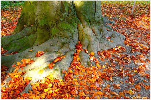 Blätter Rotbuche