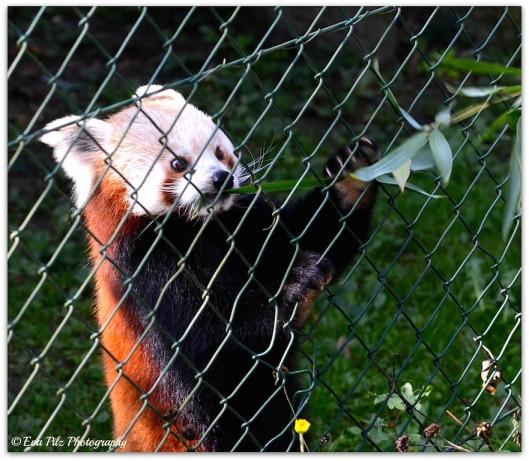 roter Panda10