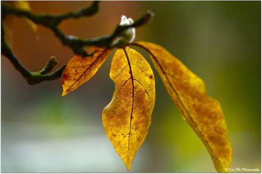 Magnolienblatt