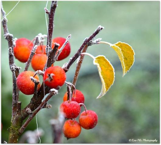 Zieräpfel Raureif