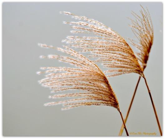 Gräser - vom Winde verweht