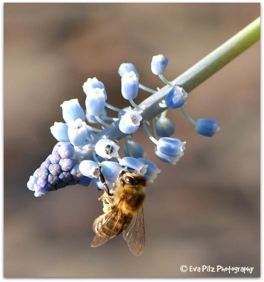 Biene mit Traubenhyazinthe