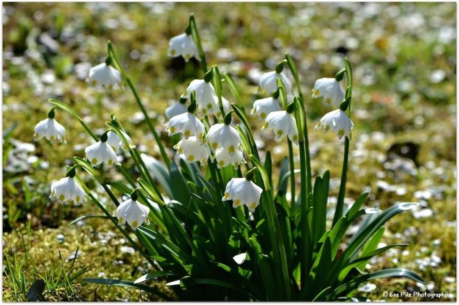 Frühlingsknotenblumen1