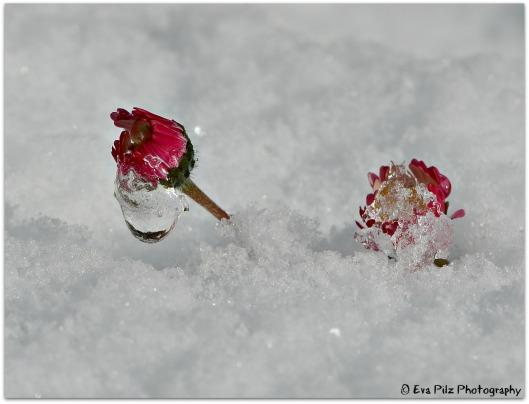 GBlümchen im Schnee