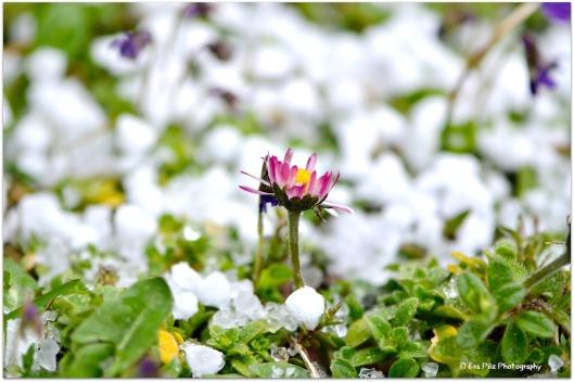 Gänseblümchen im Schnee