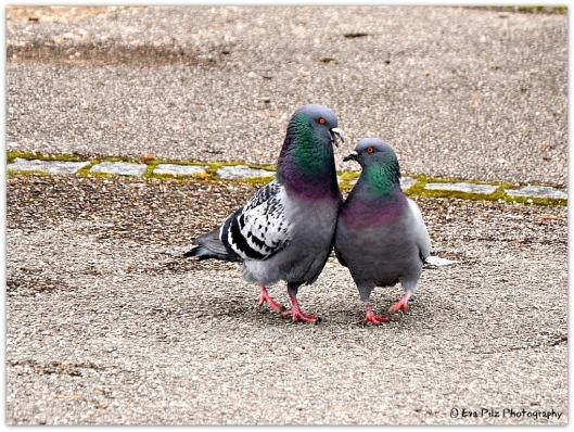 Taubenpaar