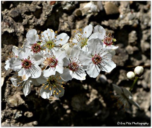 Blüten Mirabellen