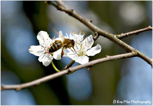 Insekt auf Mirabellenblüte